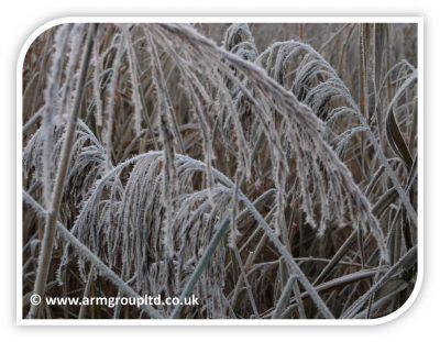 Frosty Reeds
