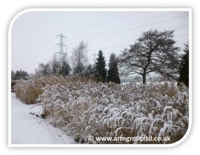 Snowy Reeds